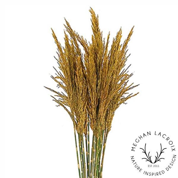 Plume Reed Grass - Aspen Gold -