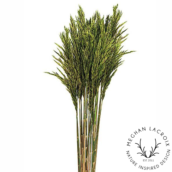 Plume Reed Grass - Green -