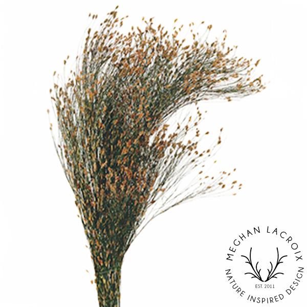 Star Grass -