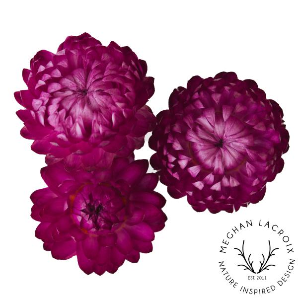 Straw Flowers - Raspberry -