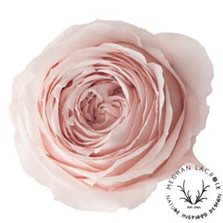 Nude Pink Garden Roses