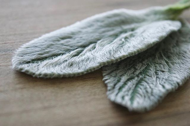 Preserved Lambs Ear! Anytime I can introduce natural silver tones to a design is a good day. And the texture on these beauties is perfection 🐑👂🏻 . . . . . . . . . #lambsear #texture #silver #dsfloral #dslooking #natureporn #preservedflowers #ihavethisthingwithflowers #naturalbeauty #flashesofdelight #livefolk