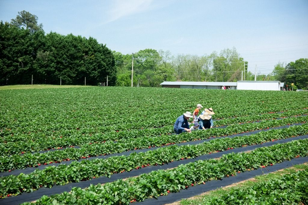 A family picks strawberries at Adam's Farm on Highway 54 in Fayetteville, Georgia.