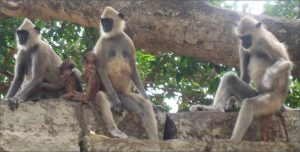 Gray Langur monkeys engage in infanticide (Jolle~commonswiki)