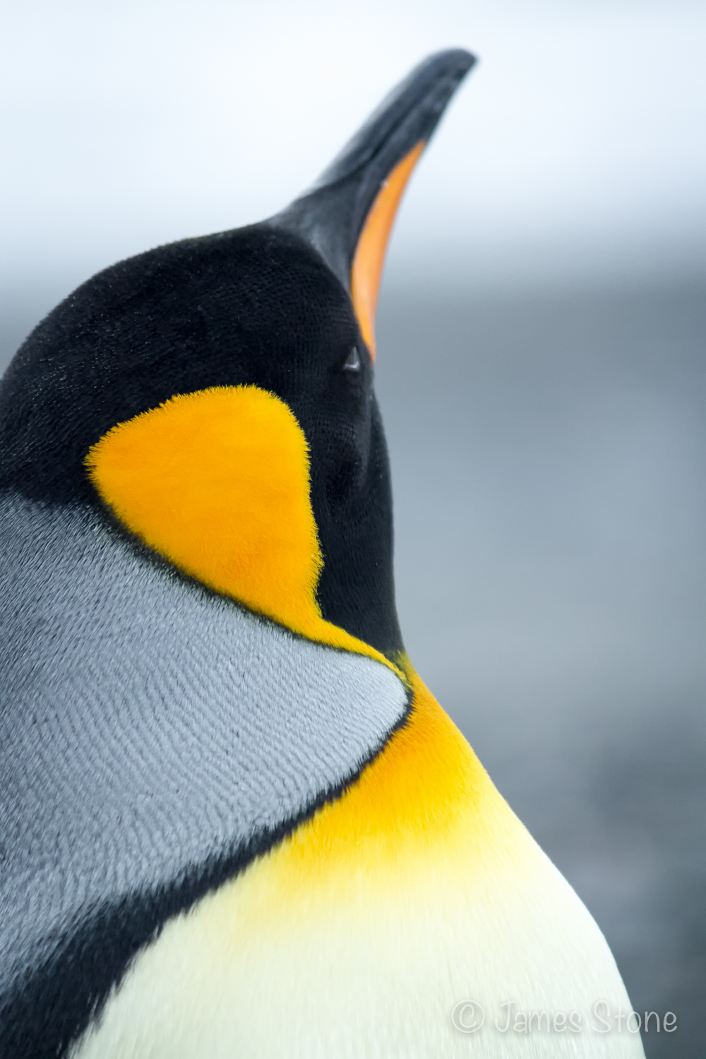 King Penguin1