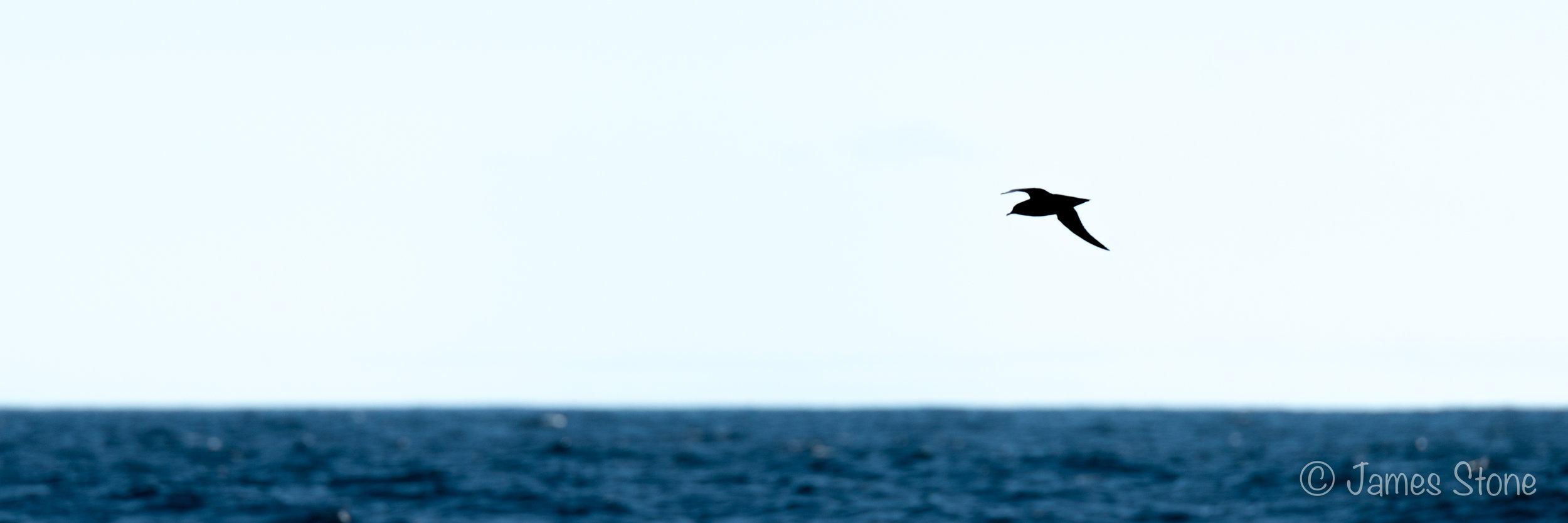 Muttonbird Silhouette