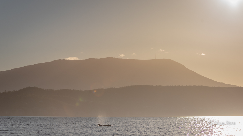 Dolphin under Mt Wellington