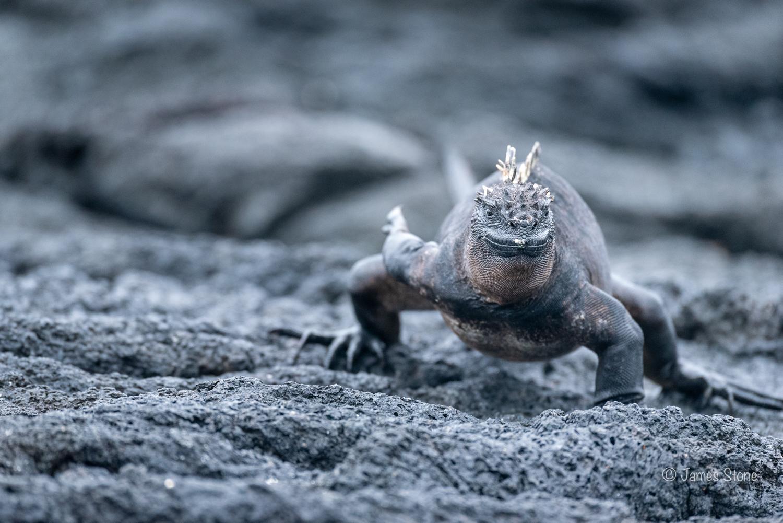 Marine Iguana on the move