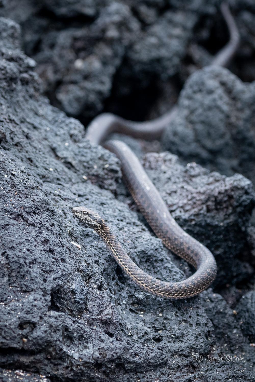 Galápagos Snake