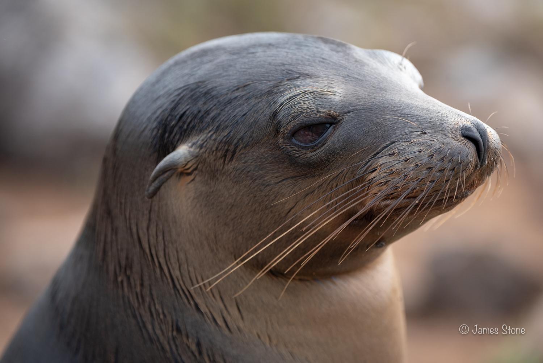 Sea lion pup portrait