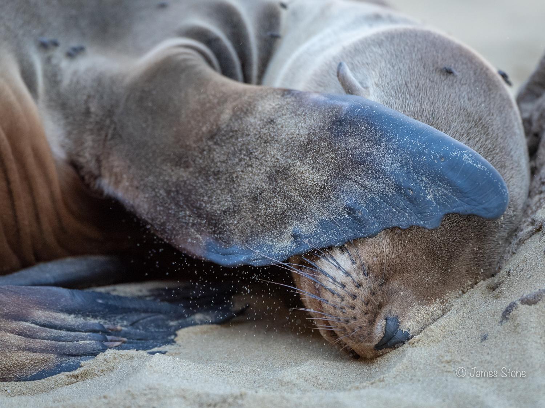 Bashful sea lion