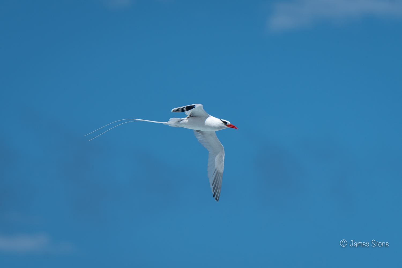 Red-billed Tropic bird