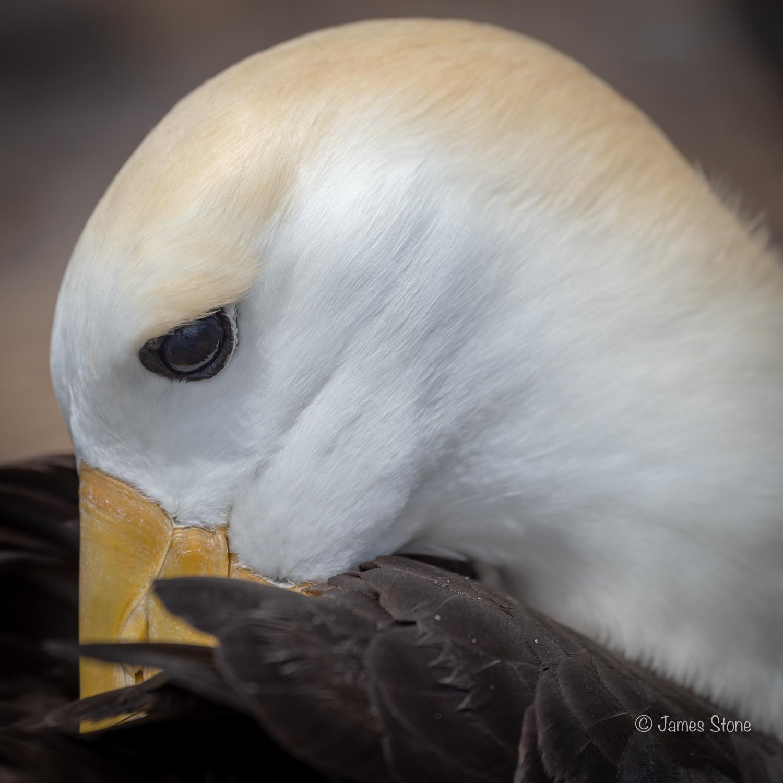 Waved Albatross preening