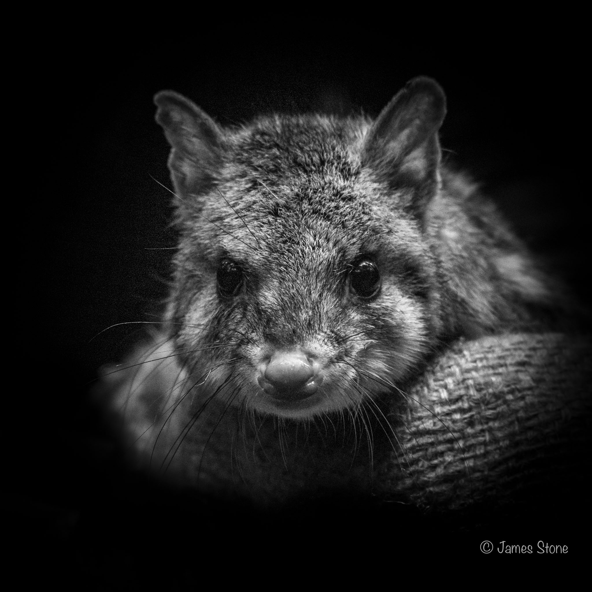 Eastern Quoll portrait