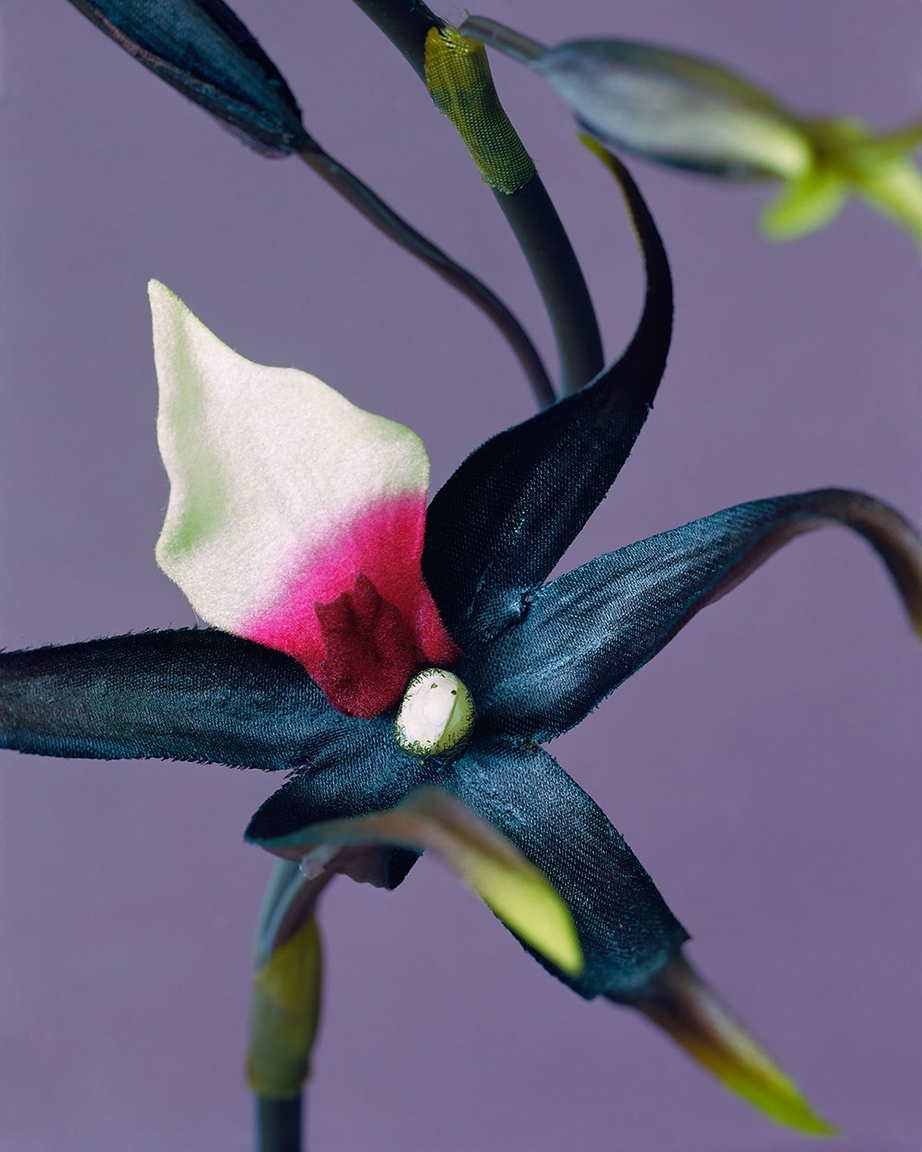 Orchid  (from  Botanicals  series),2014. 40 x 32 inches. Pigment print.