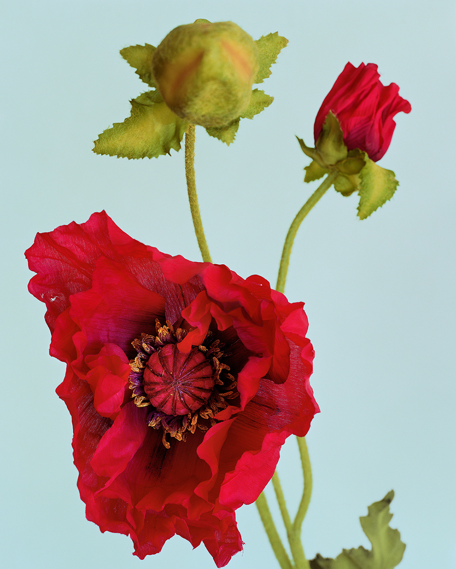 Poppies  (from  Botanicals  series)  ,2014. 40 x 32 inches. Pigment print.