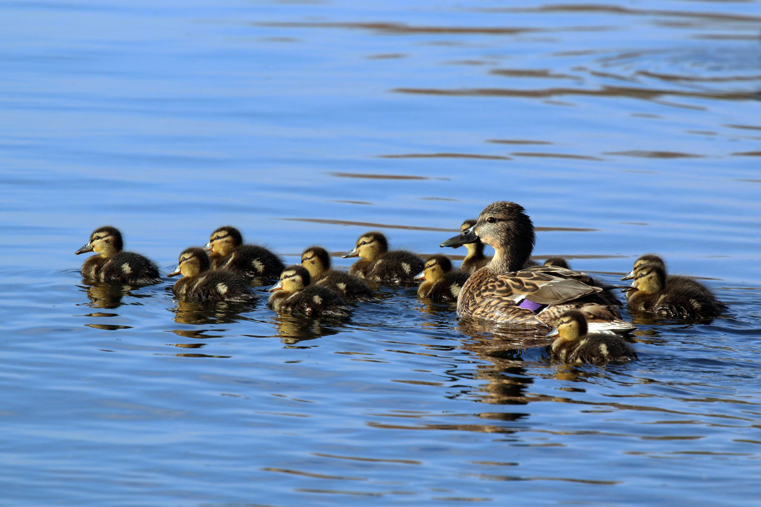 A mother duck and her ducklings.