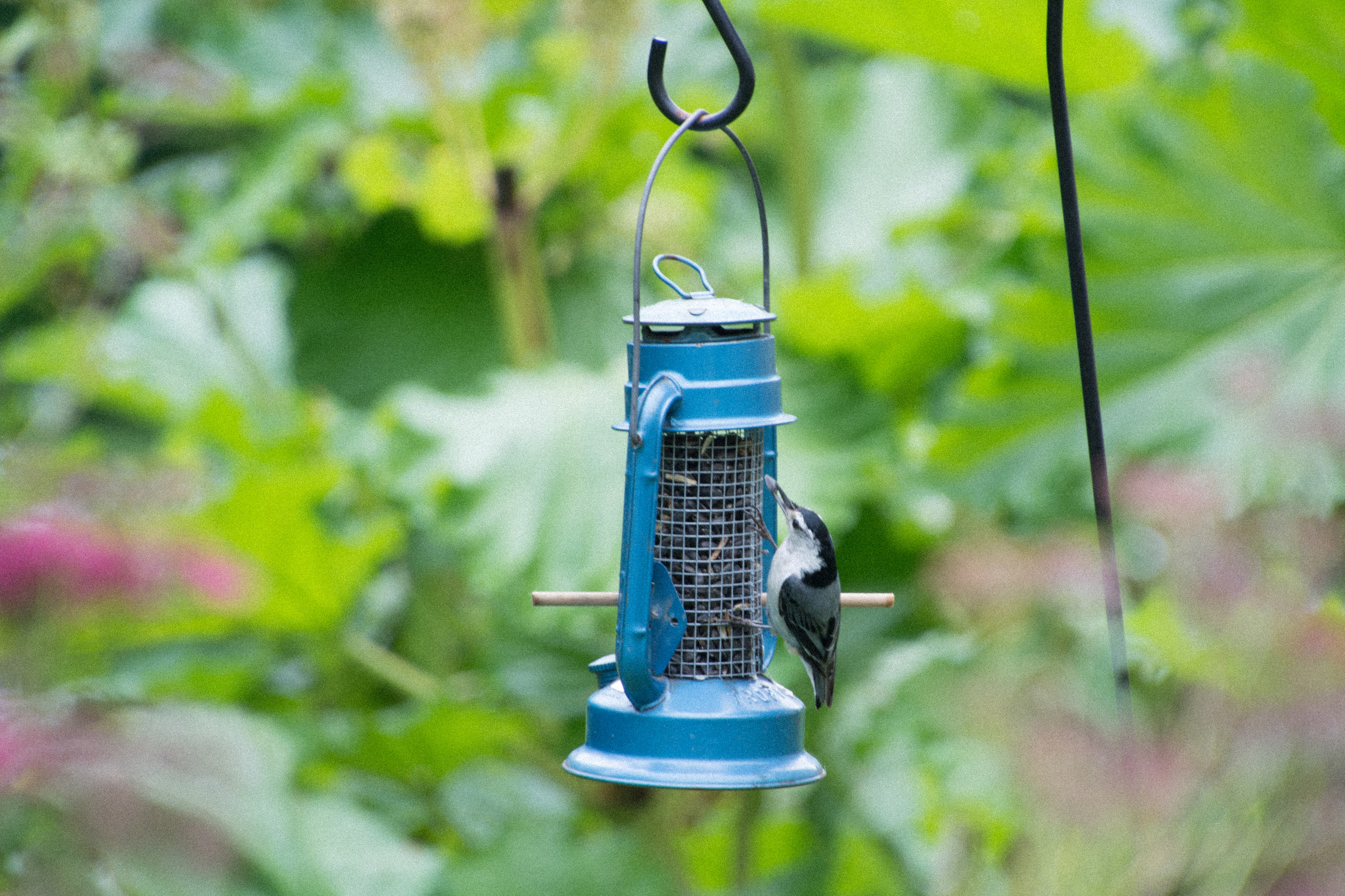 Blue Lantern with Nuthatch