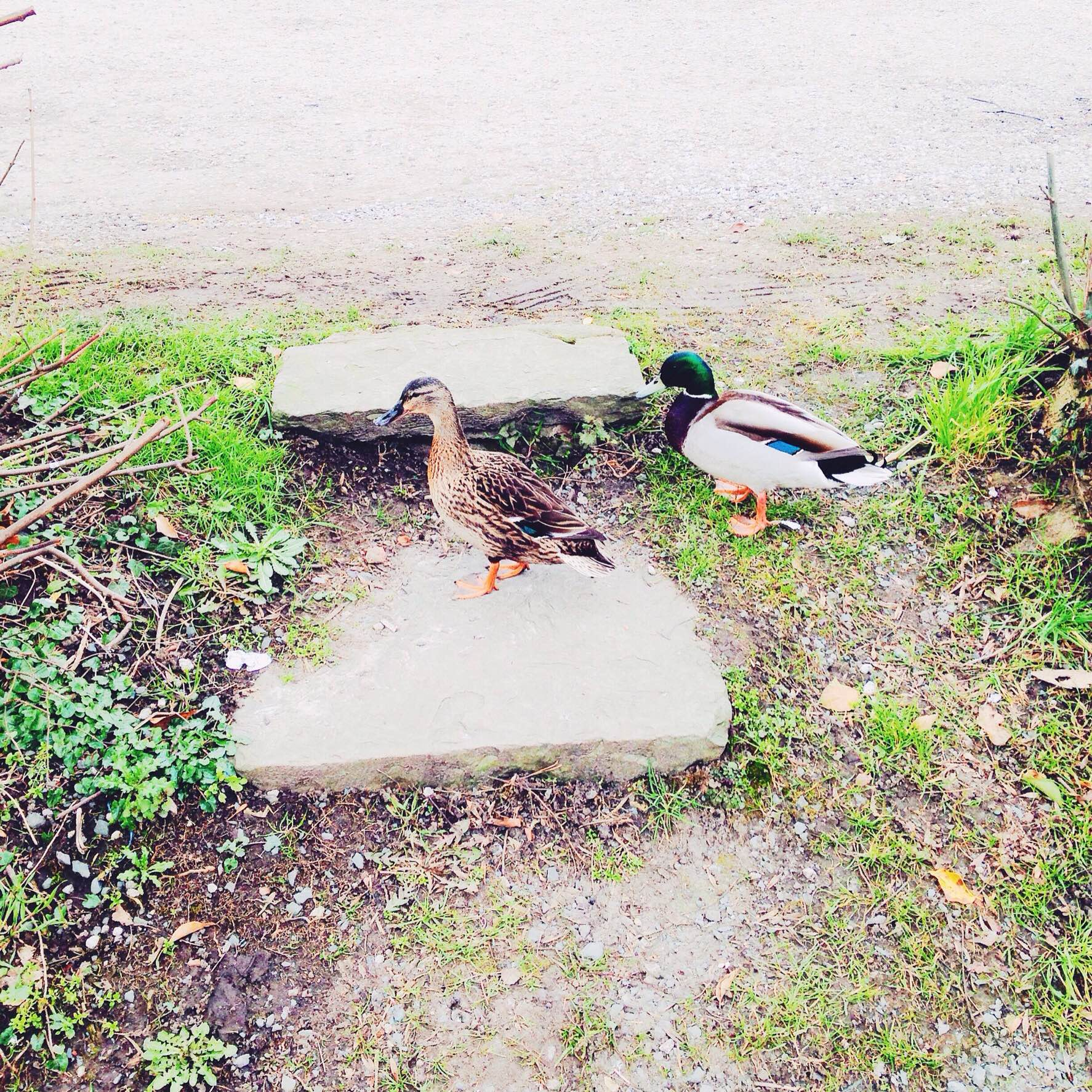 Ducks wandering by the canal