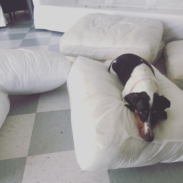 Enjoying couch washing day. Once the covers are clean, he and Chuy will play in some mud and make their marks all over again. #worthit #dachshundsofinstagram #piebalddachshund #ikeaektorp #ourdoghatch