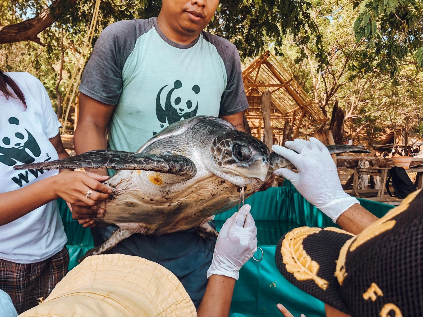 THE TURTLE WAS INSPECTED AND DETAILS LOGGED BY WWF OFFICIALS BEFORE BEING RELEASED BACK INTO THE WILD.