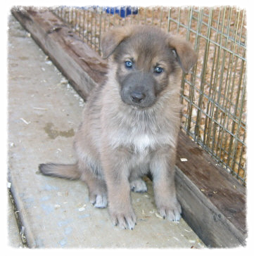 A blue pup with sable markings