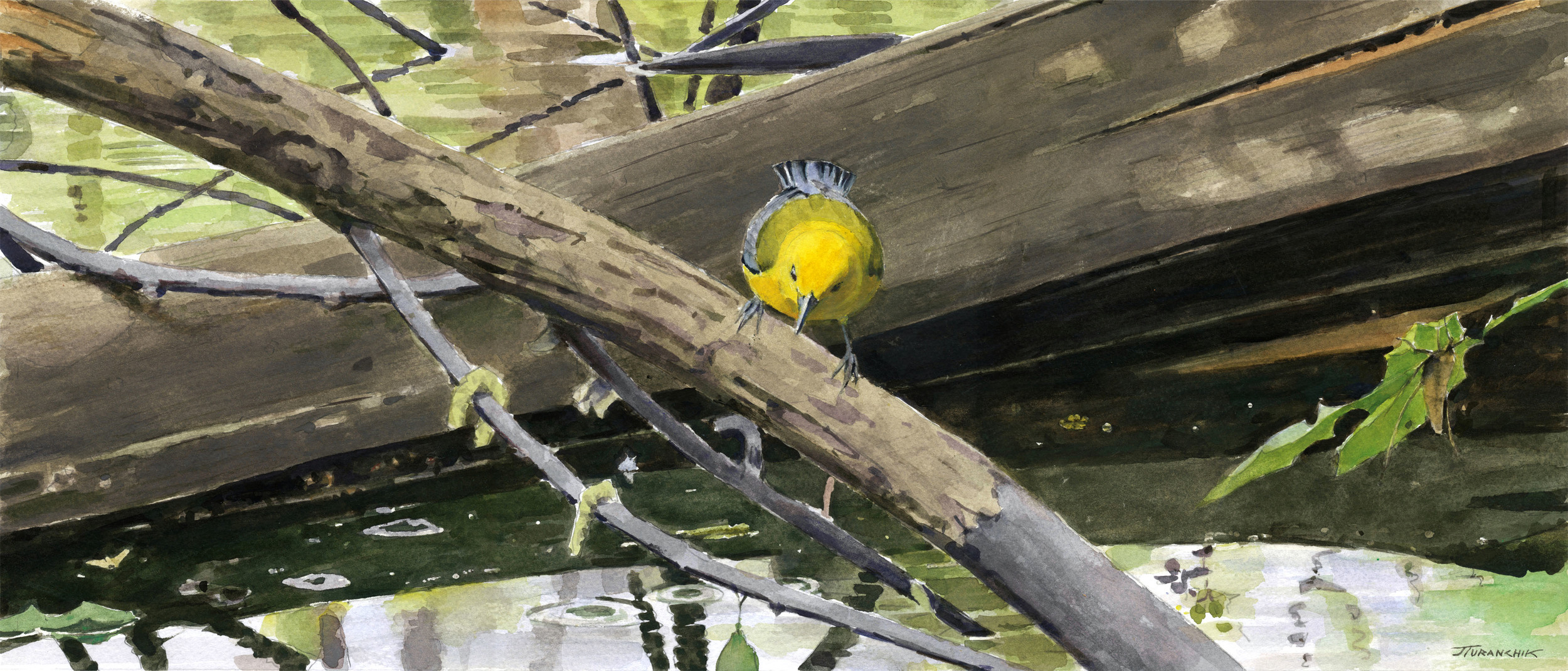 Some Like It Wet - Prothonotary Warbler