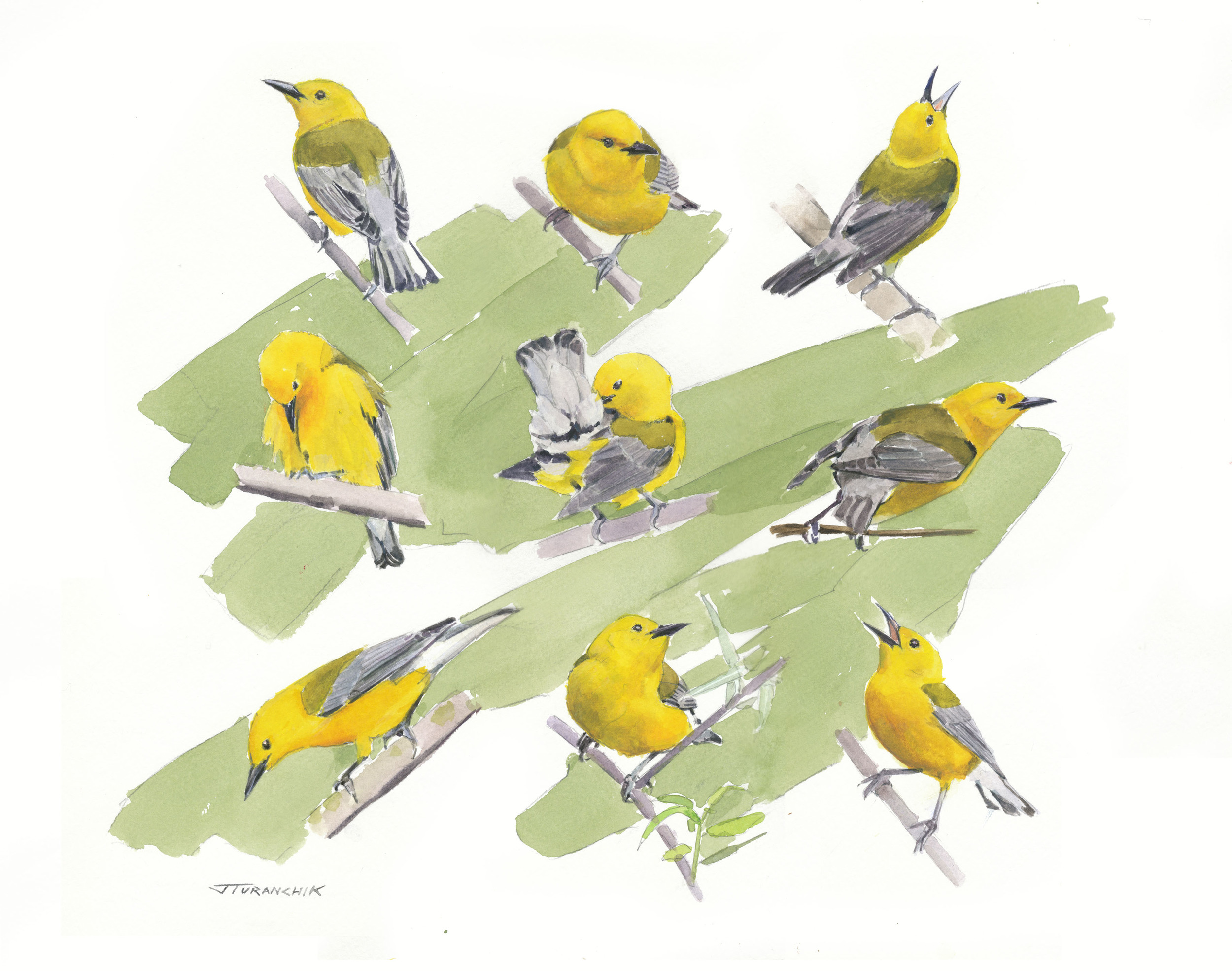 The Compleat Prothonotary Warbler