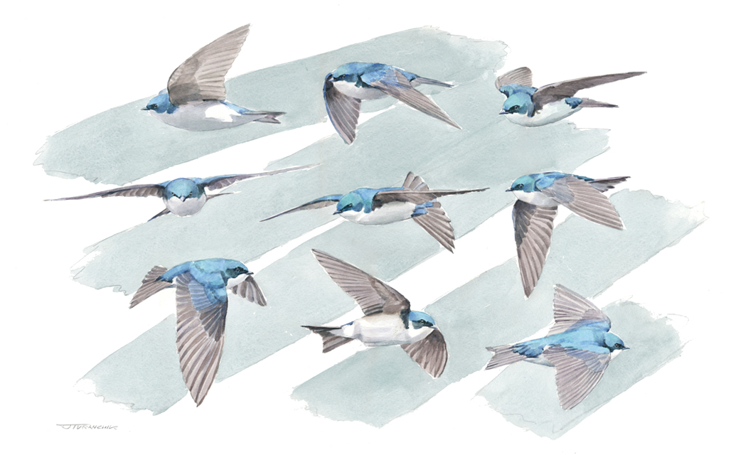 The Compleat Tree Swallow