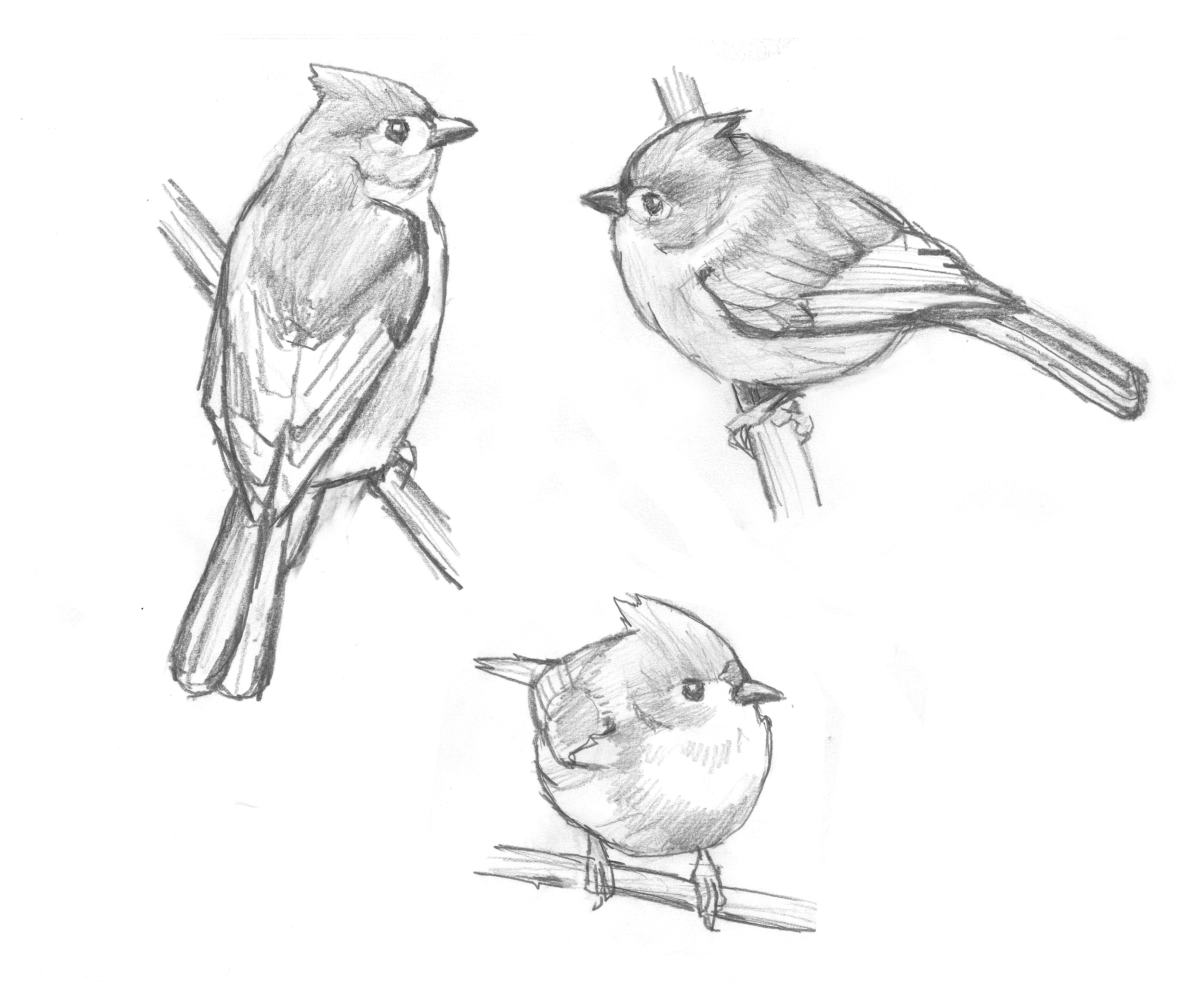 Tufted Titmouse studies