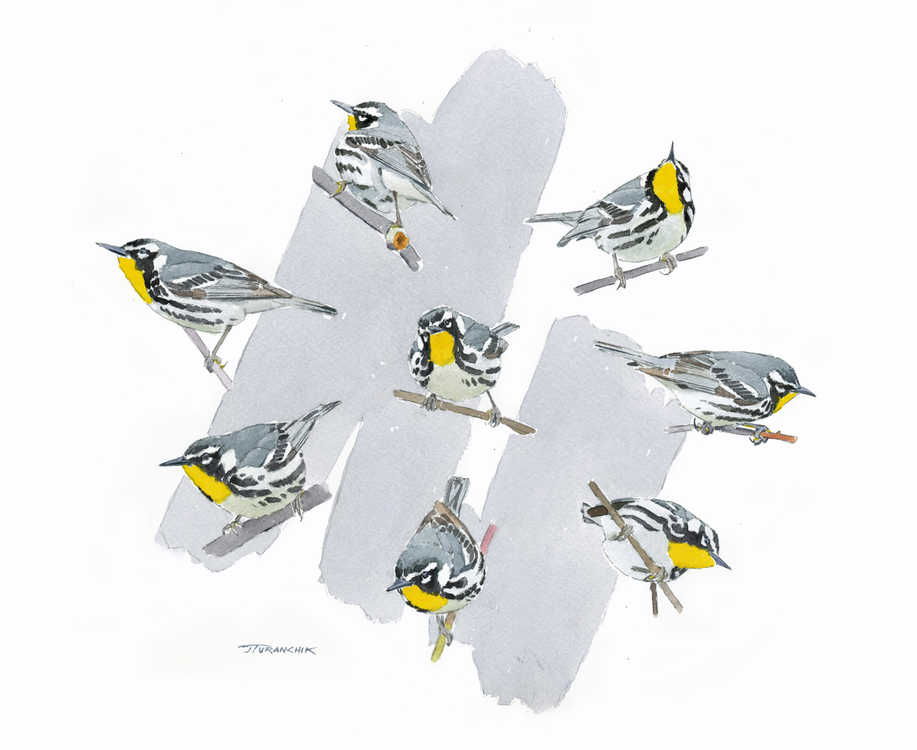 The Compleat Yellow-throated Warbler