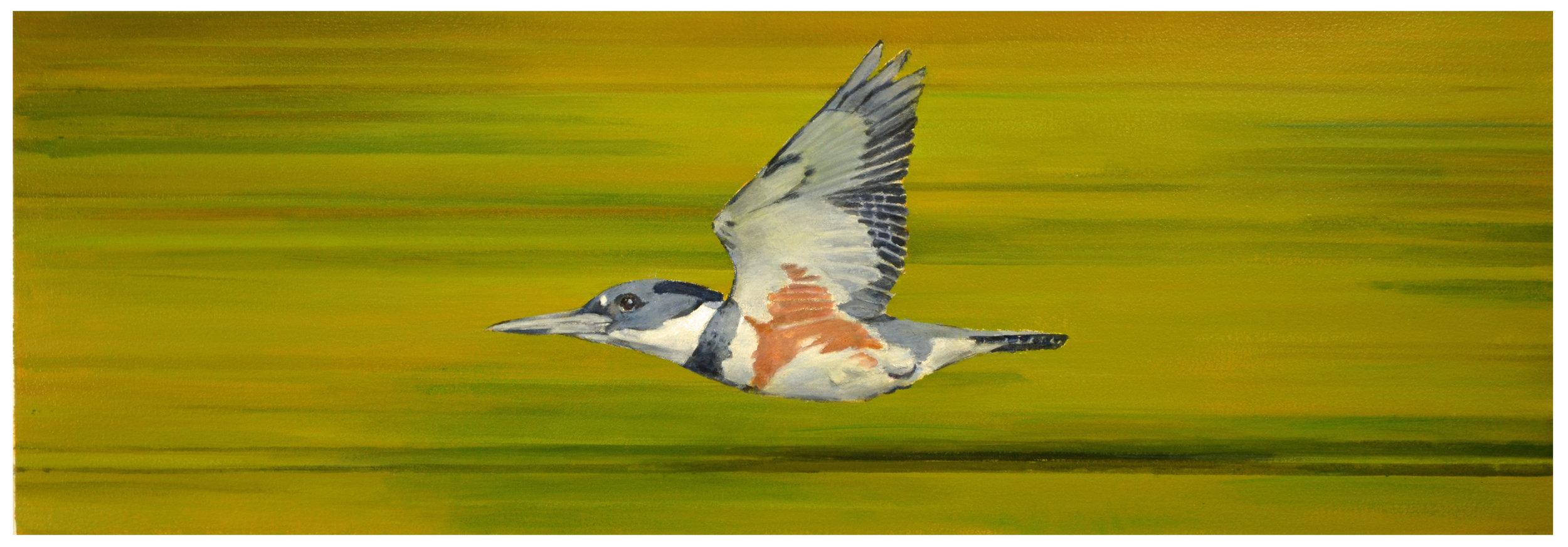 Bird in Flight - Belted Kingfisher