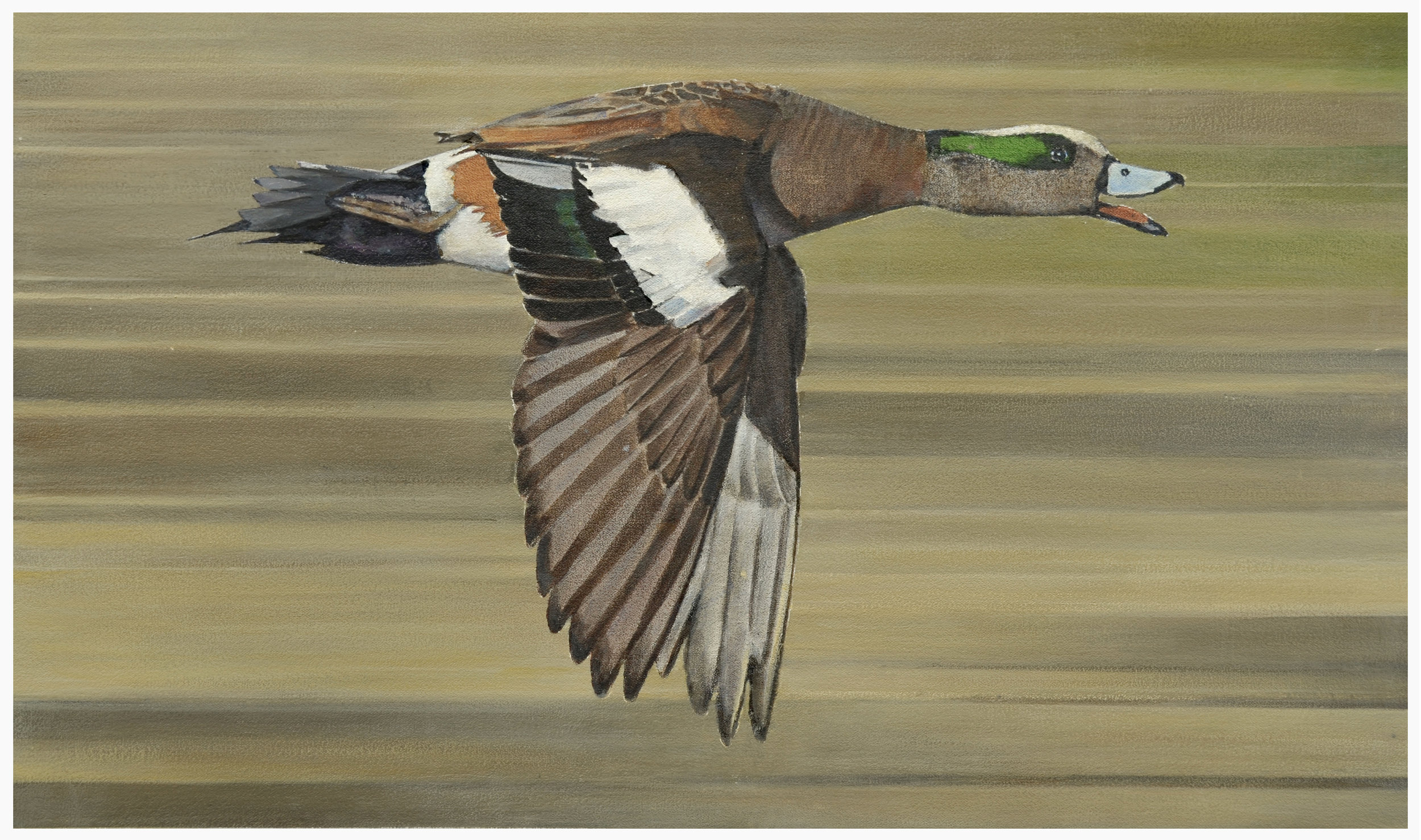 Bird in Flight - American Widgeon