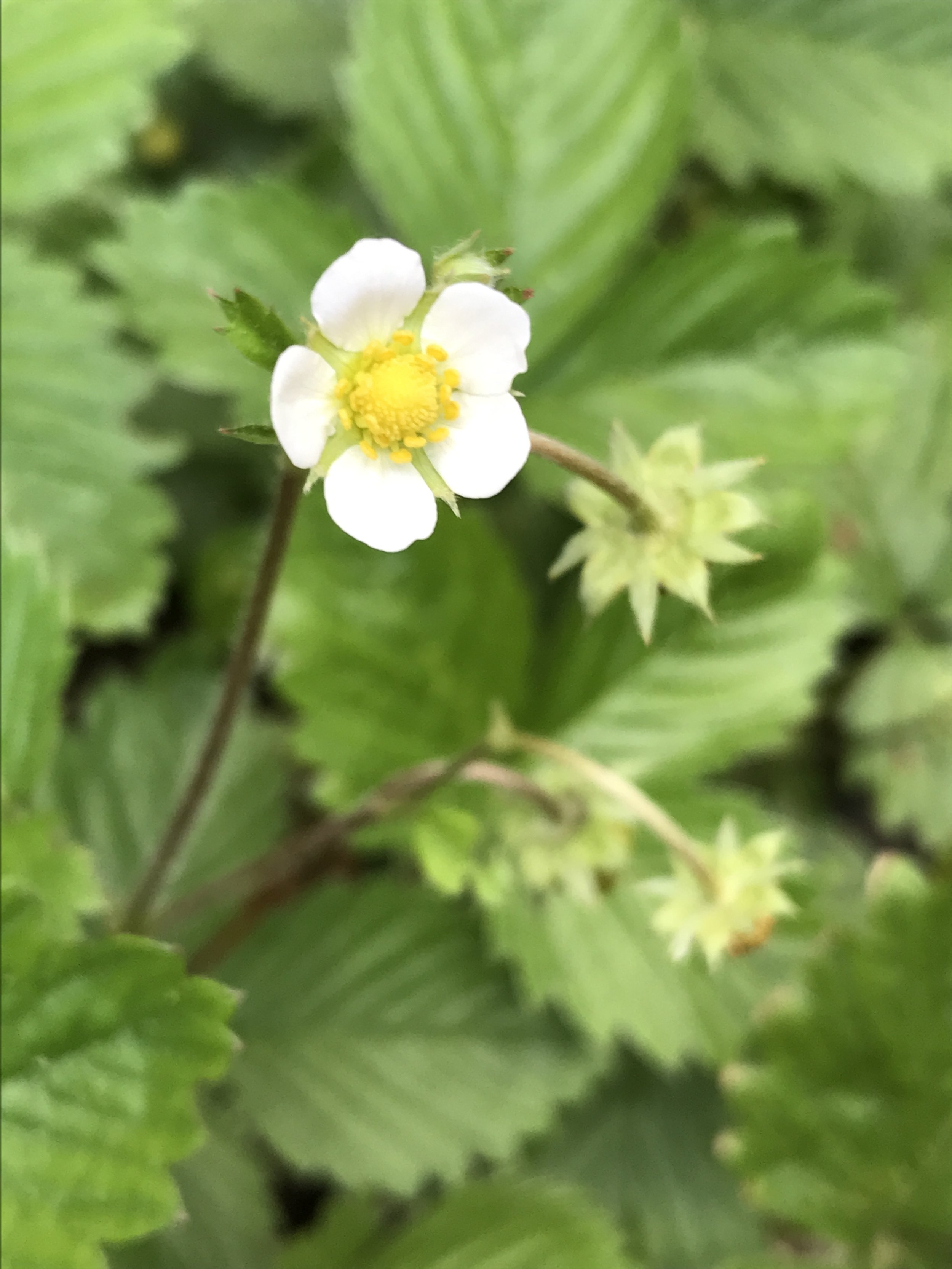 Alpine Strawberry Blossom.  Let the eating season begin!