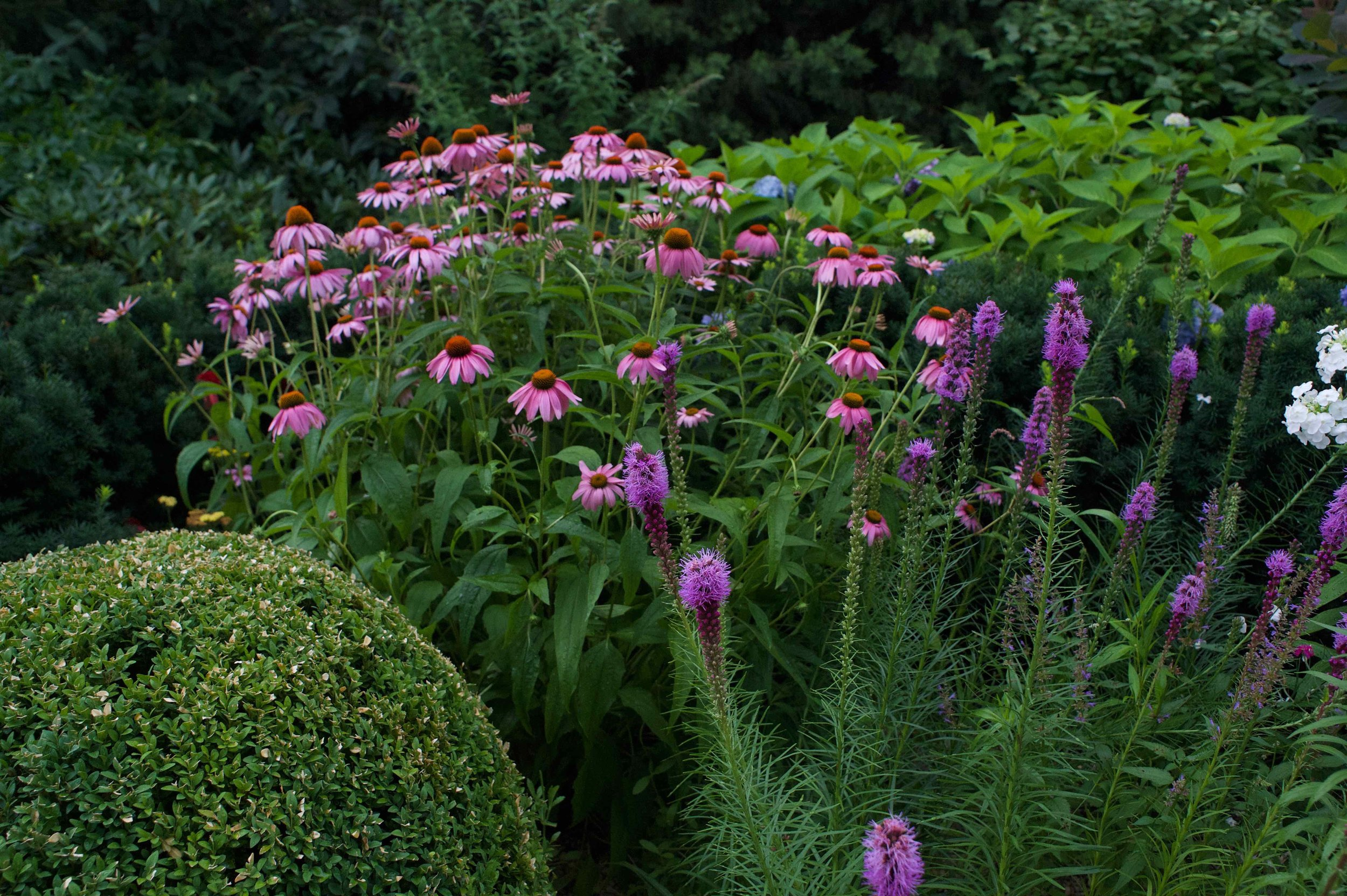 Beautify and tough native flower (echinacea and liatris)