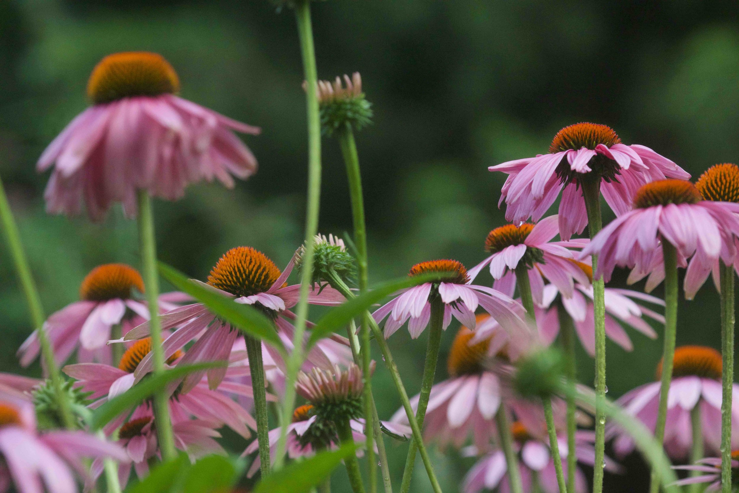 Echinacea close up