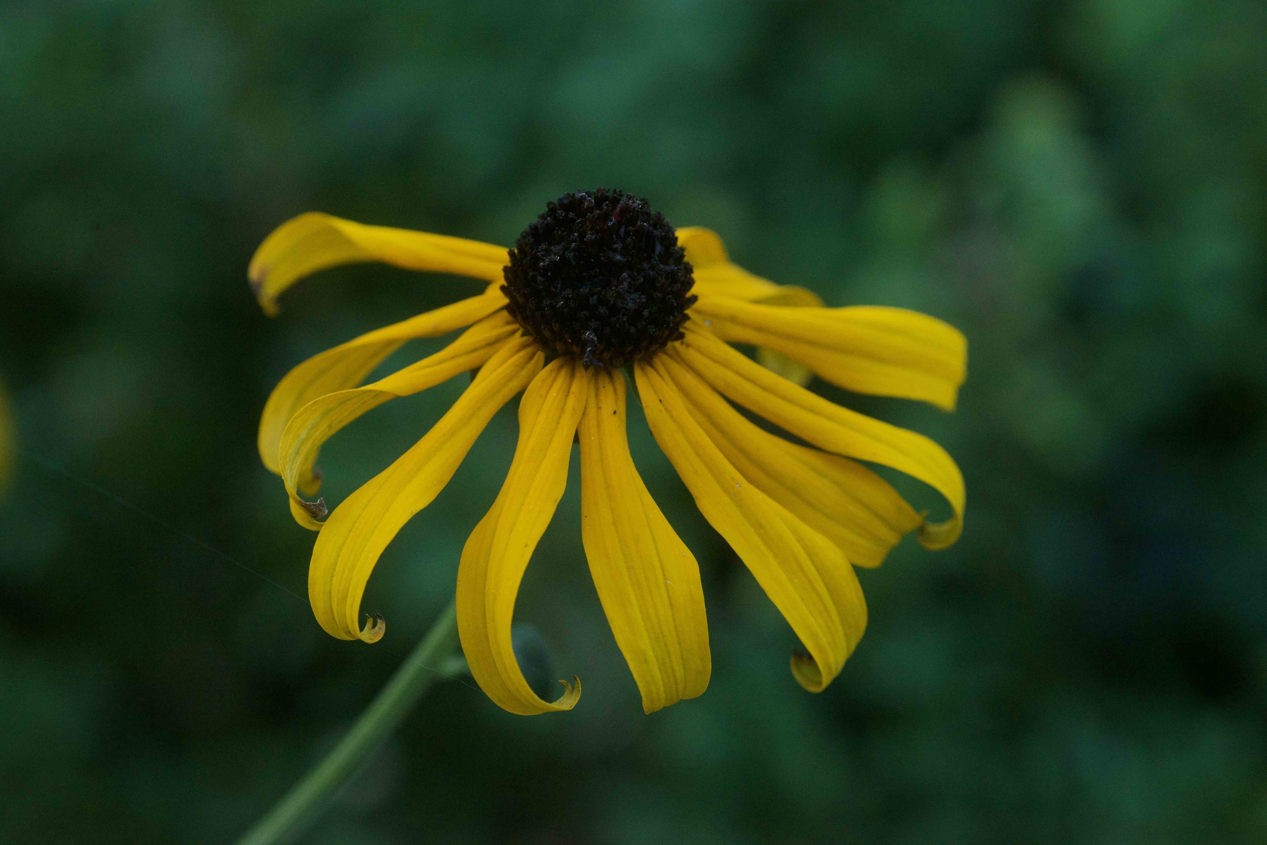 Native Black Eyed Susan at the end of summer