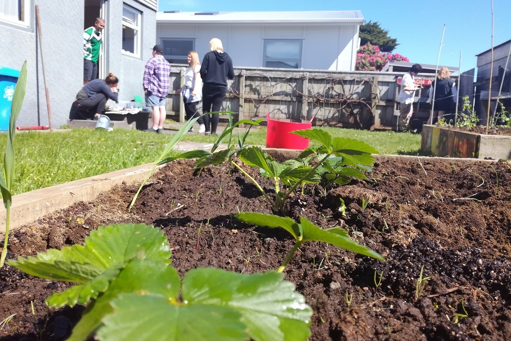 Strawberriess planted at Starfish Project