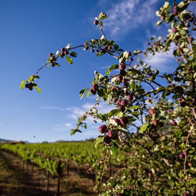 Apples growing for cider and apple wine. #local #lifeandthyme #liveauthentic #cider #fermentation #slowfood #artisan