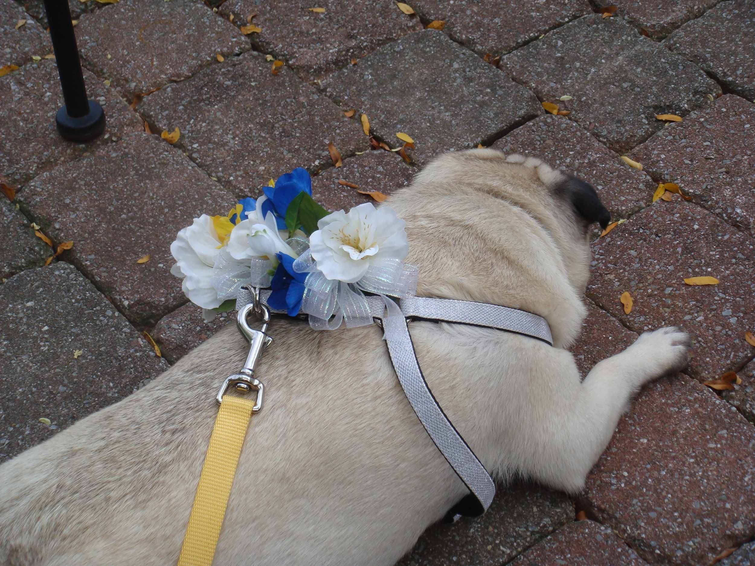 butter-the-flower-pug_4967746926_o.jpg