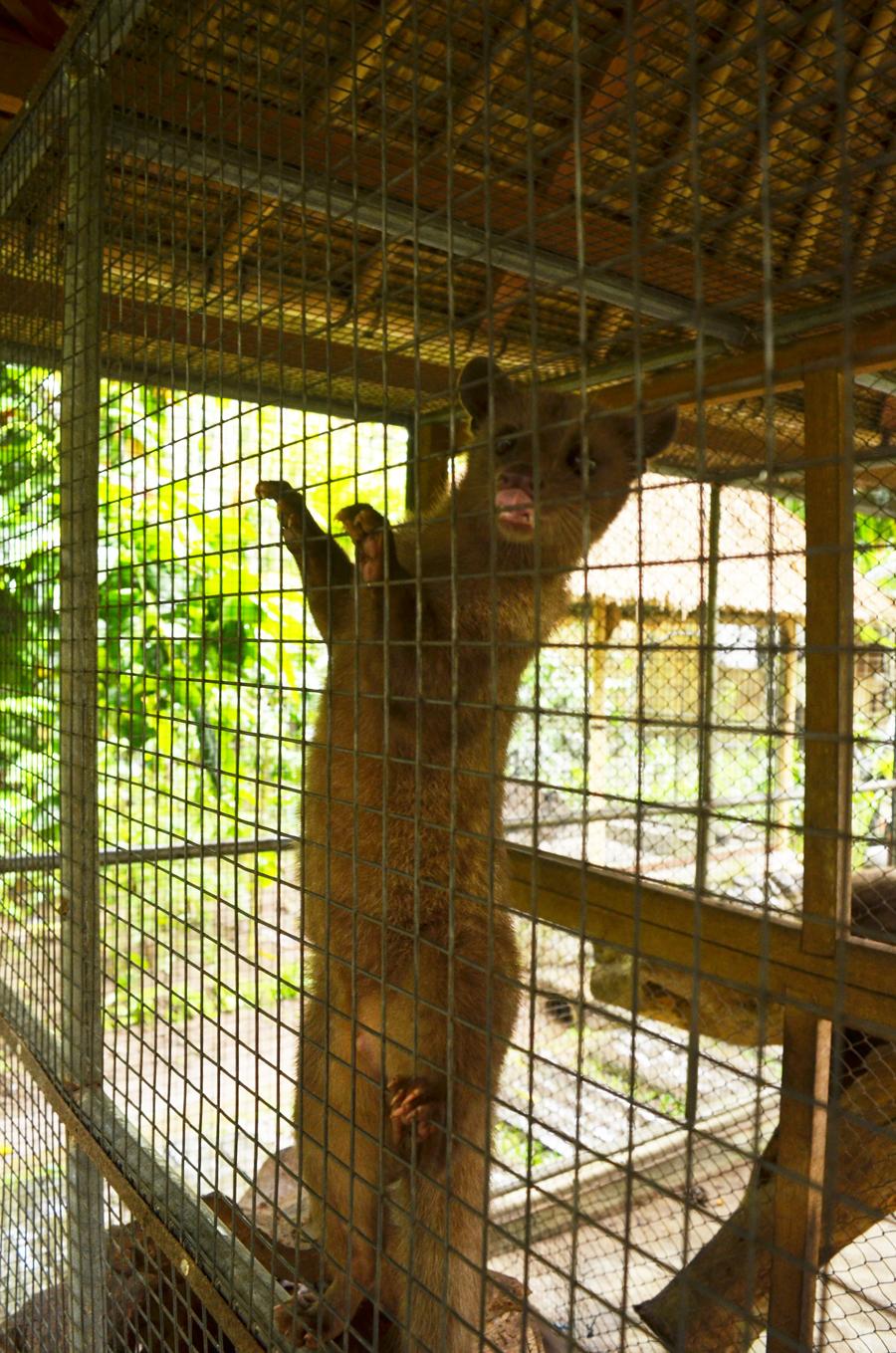 Luwak in captivity :(