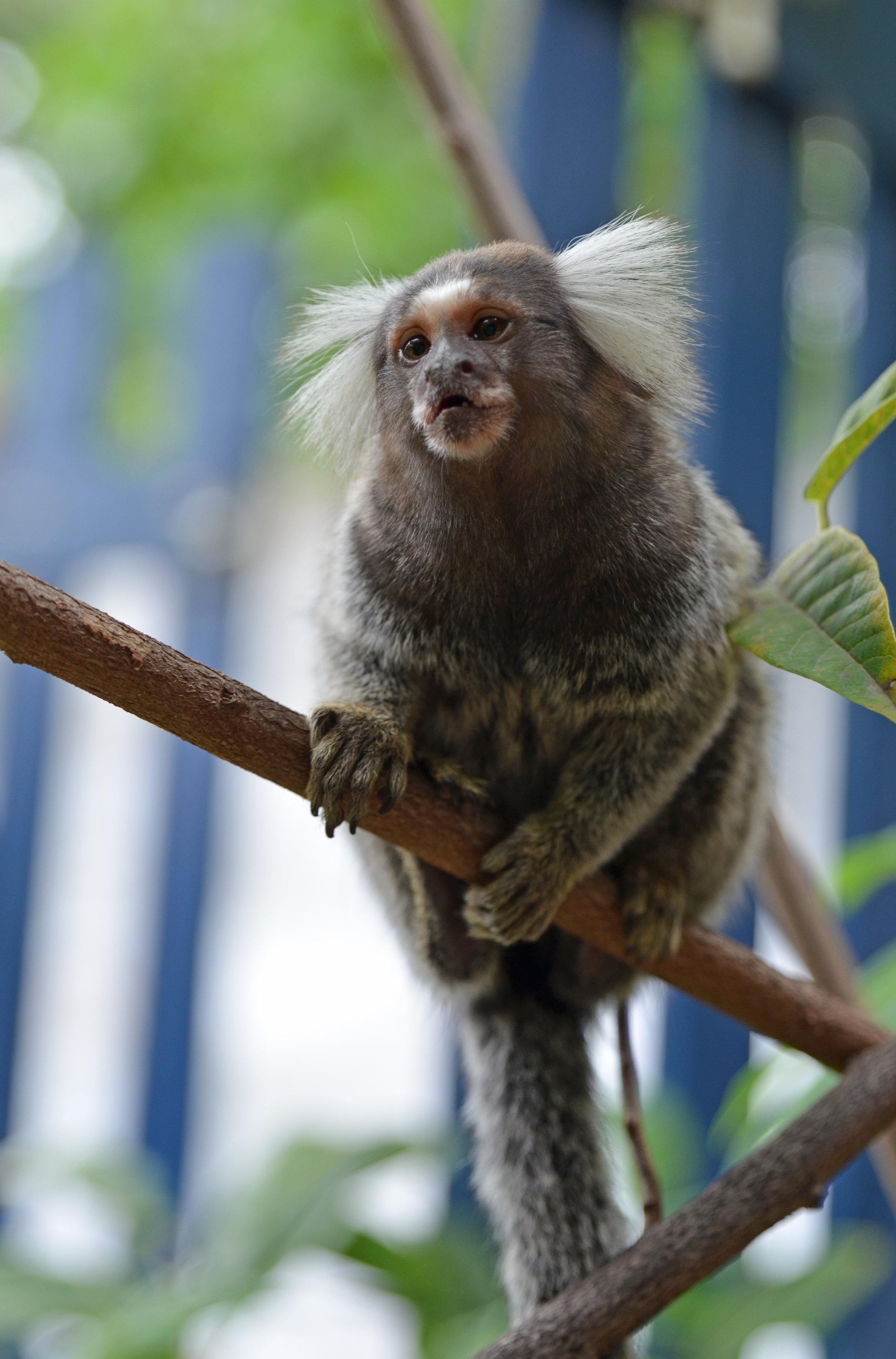 Mormoset monkey. So cute!