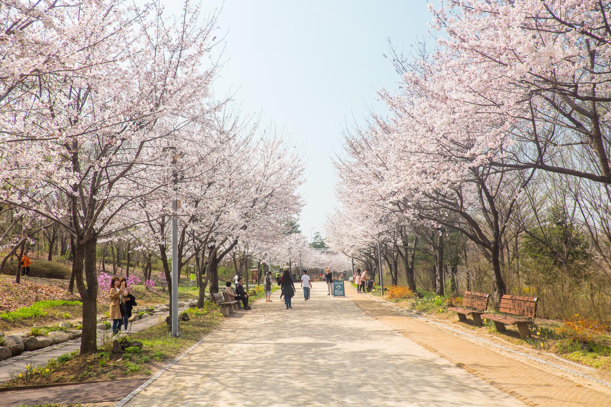 south-korea-seoul-cherry-blossoms-1.jpg