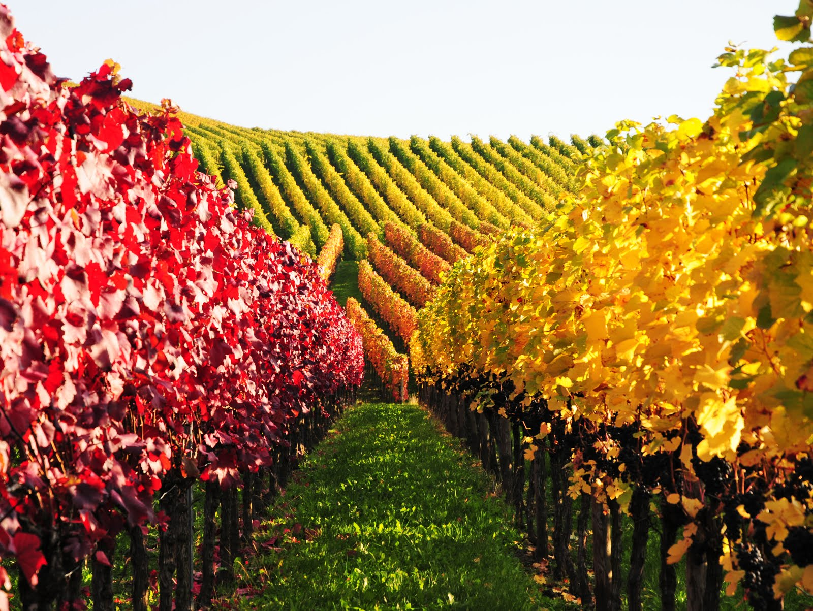 vineyard-in-germany_autumn-colors.jpg