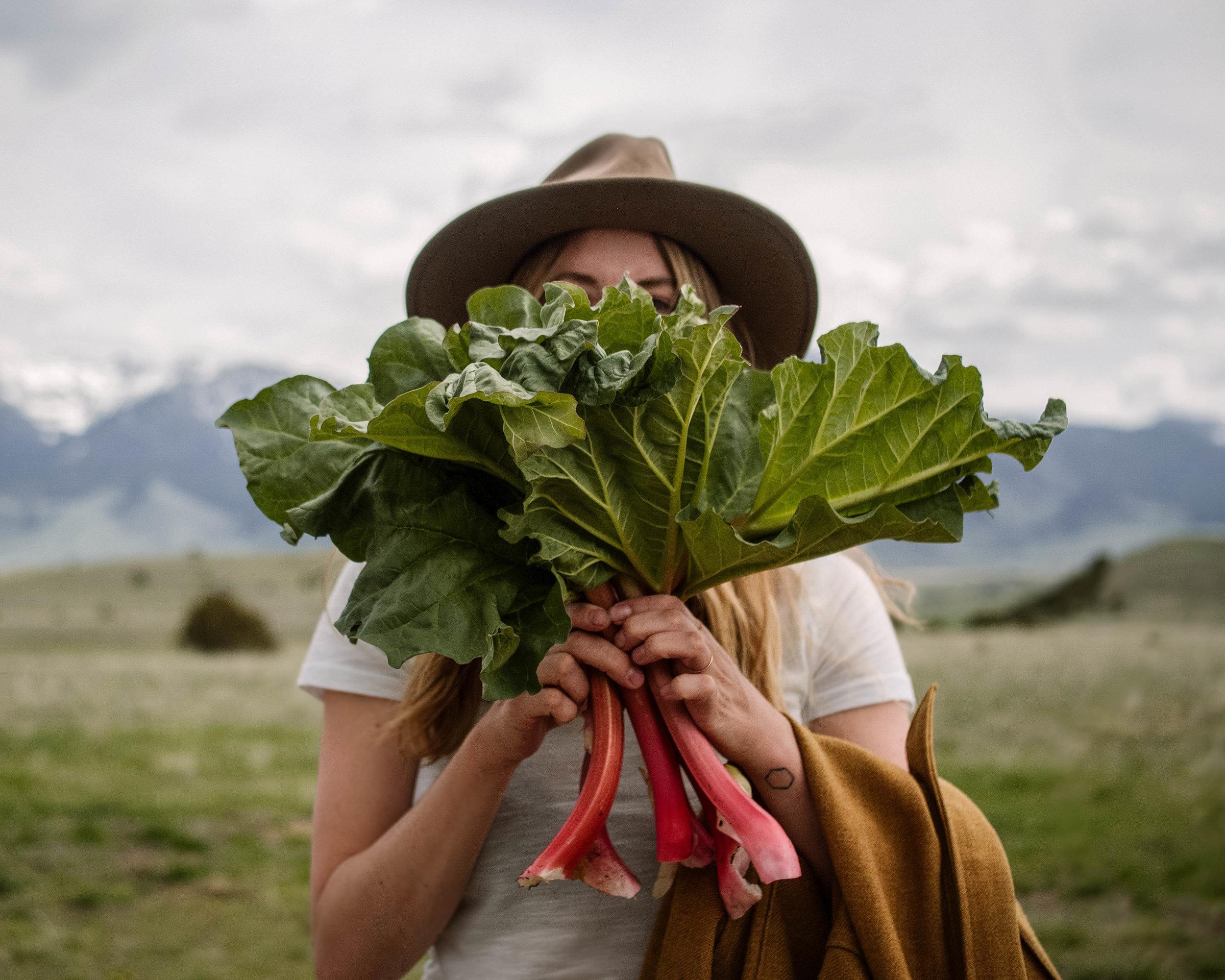 Montana rhubarb harvest