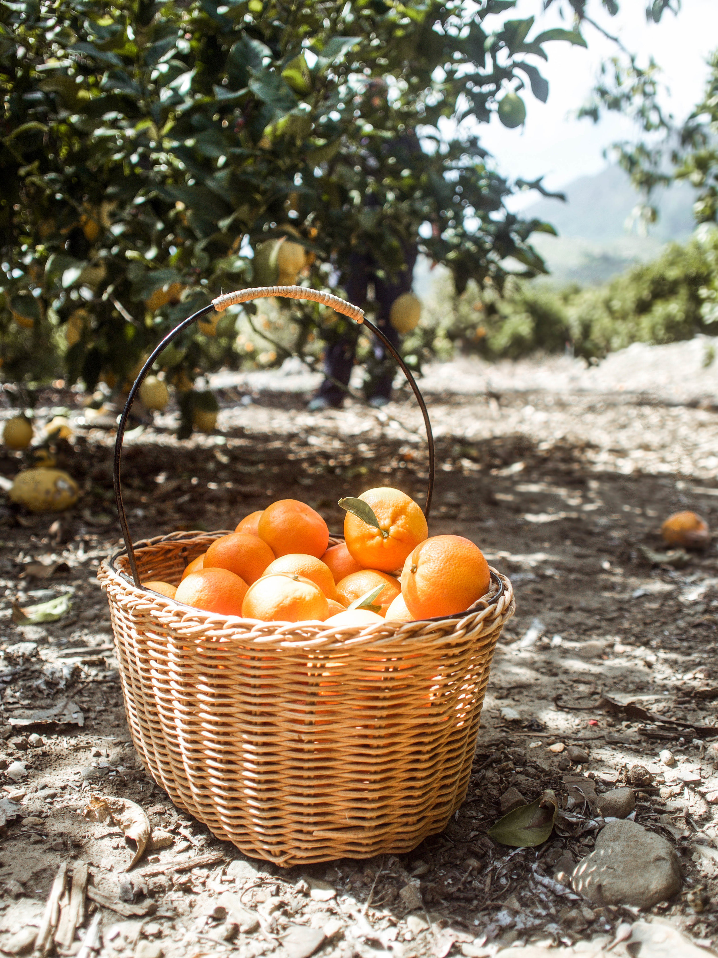a basket of organic California oranges