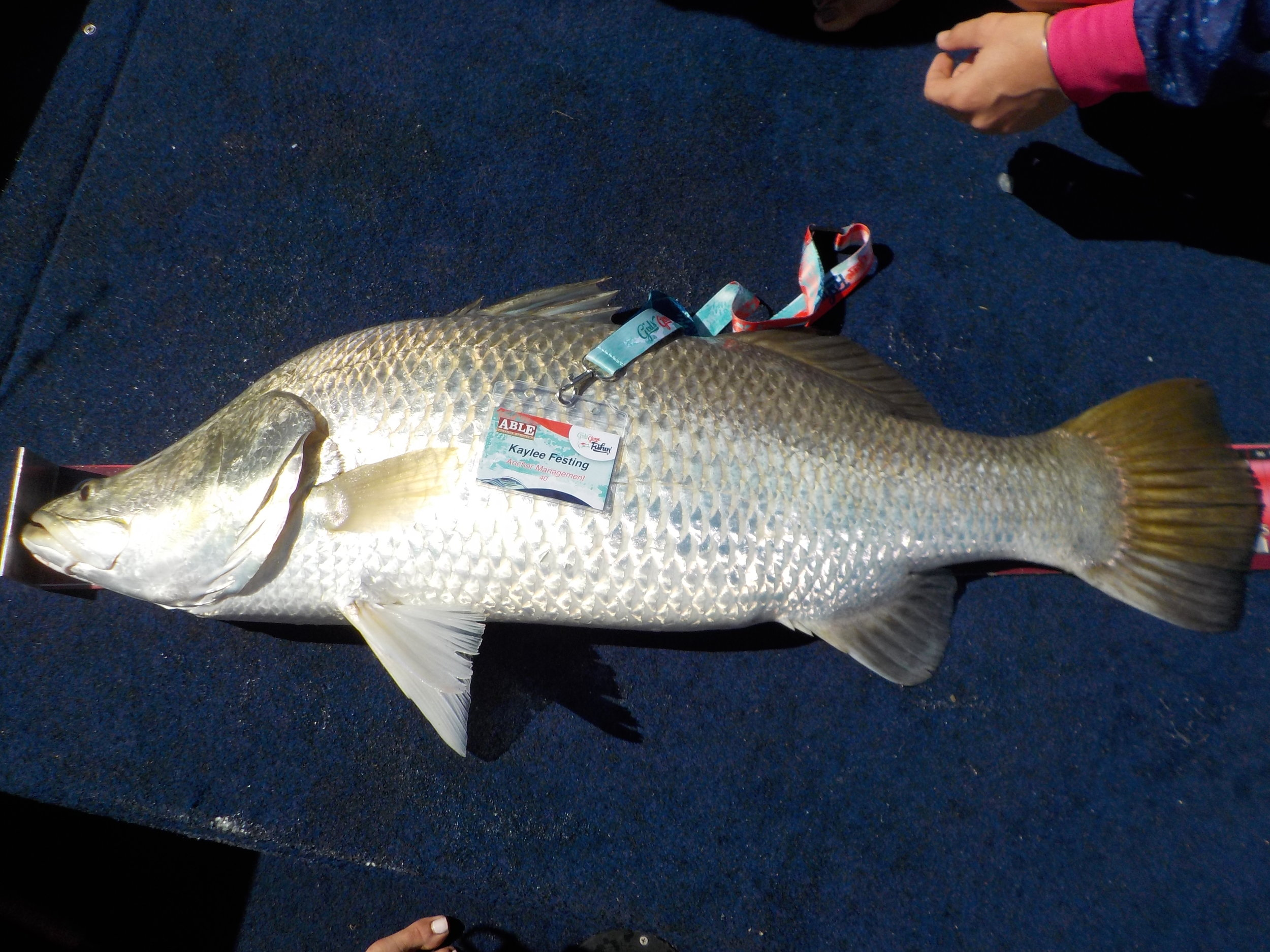 amazing how thick the fish were that were caught this year! 95cm slab of barramundi caught by kaylee festing!