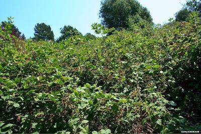 Blackberry Forest!!!