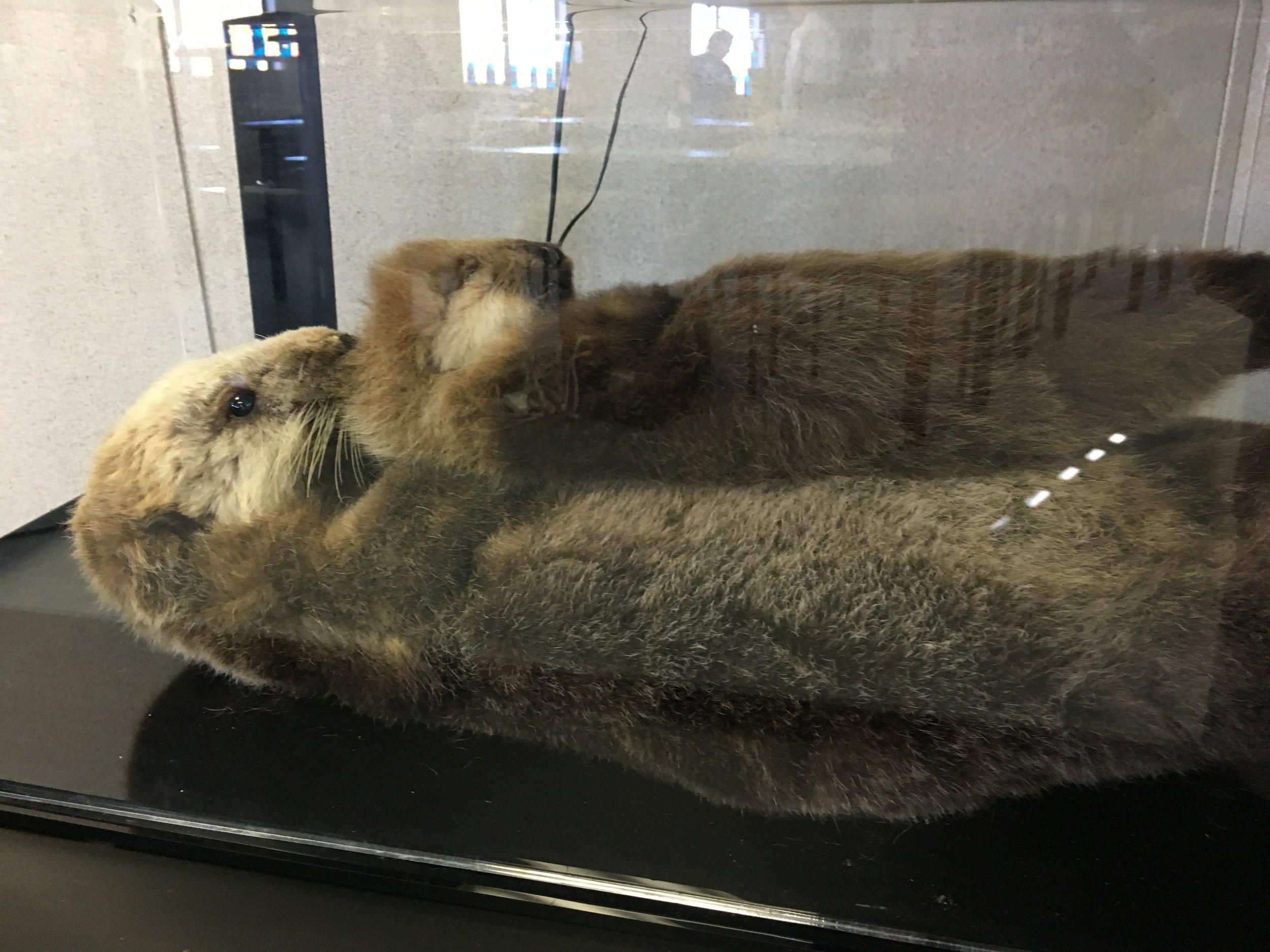 Marine Mammals: Sea Otters