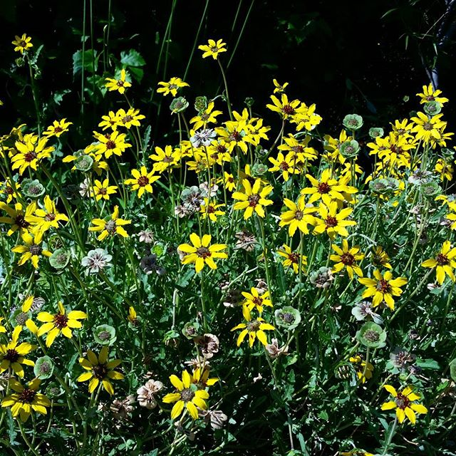 Everyone know this #plant ? It's a #native #wildflower called the #chocolateflower Low growing with multitudes of yellow #flowers in the #summer that smell like chocolate when open in the morning and close up toward the afternoon. It's very heart and drought tolerant making it a great asset to any #xeriscape #southwesthorticulture #botany #garden #natural #gardening #flora #botany #nature #southwest #horticulture #Albuquerque #newmexico #landscapedesign #landscape #landscapes #landscaping #nativeplants #xeriscape #irrigation
